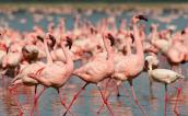 The famed flamingoes at Lake Nakuru, Kenya
