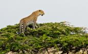 A watchful leopard perched atop a tree in the Masai Mara, Kenya