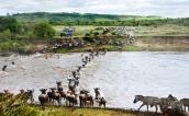 Wildebeests migrating, Masai Mara, Kenya