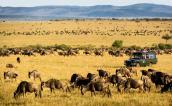 Wildebeests migrating, Masai Mara, Kenya